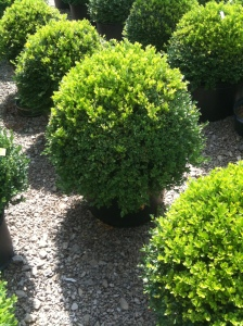 We want to add boxwood to our garden.