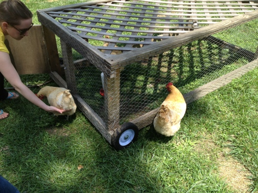 Laura directs her hens into a tractor, a mobile pen.