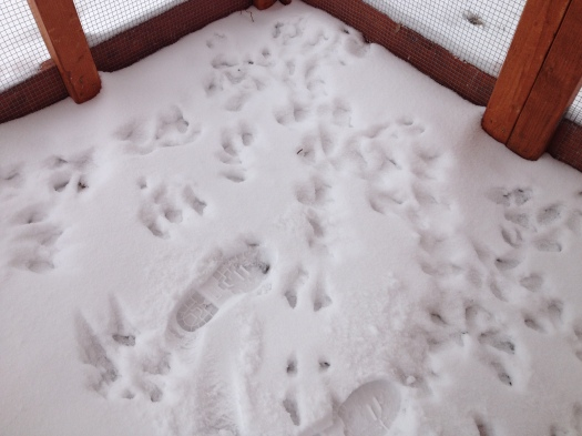 What the heck?!? Who left these paw prints in the run?