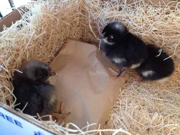 Our first look at the chicks.