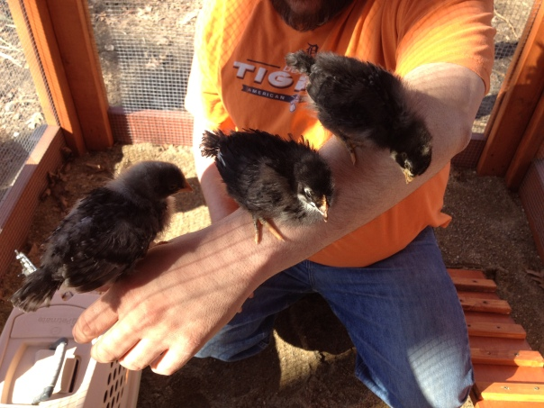 from left; the Olive Egger, The Black French Copper Marans and the Dominique.