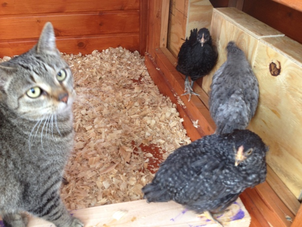Cat Cora helps check on the chicks.