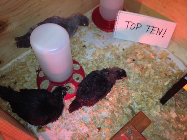 The girls: The Marans (lower left), Gigi (top) and Baby Girl.