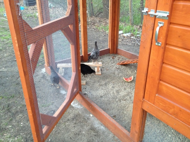 Nellie surveys the outside of the coop, while Loretta and Gigi watch safely from inside.