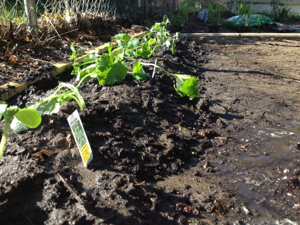 We planted three kinds of cucumbers and built a humungous trellis for them to grow on.