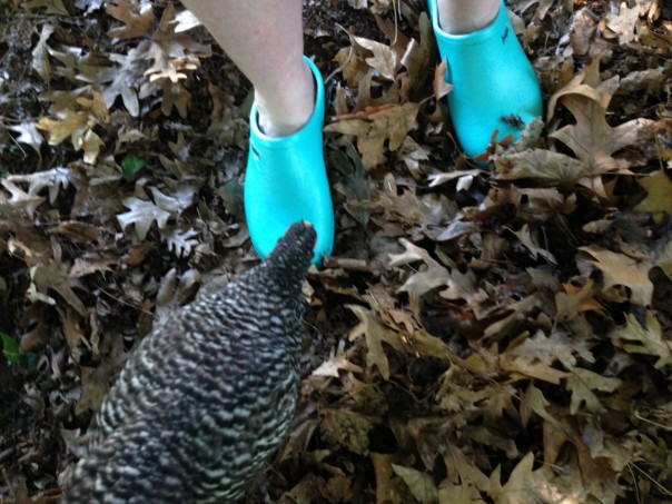 Nellie pecks at Jilli's gardening shoe. Mmmm. Better than worms!