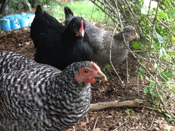 Nellie and the girls forage under a bush. They say this is much better than time in the coop.