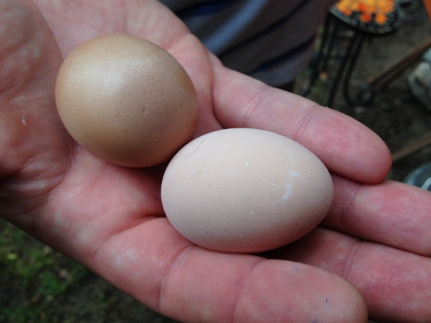 We think the darker brown egg belongs to our French Black Copper Marans, Loretta, and the lighter one to our Dominique, Nellie.