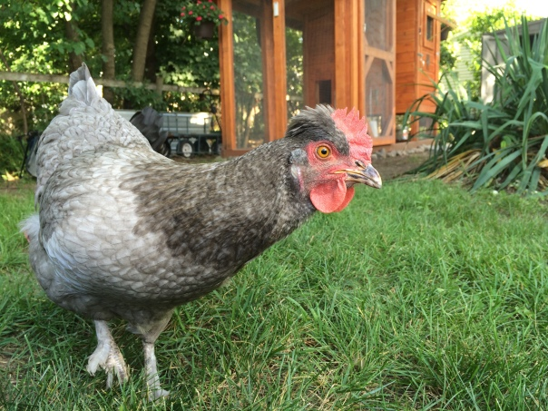 Gigi: I'm ready to lay some egg-cellent eggs!