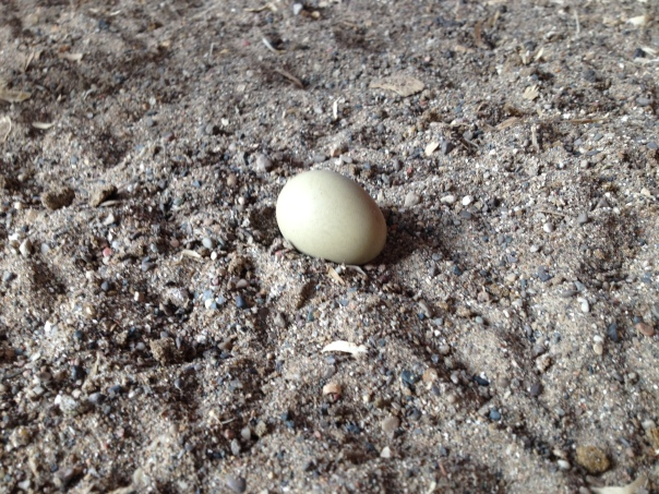 This green egg did not make it to a nesting box.