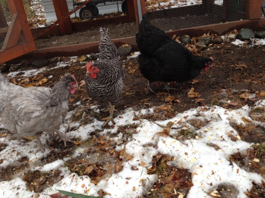Gigi, Nellie and Loretta check out snow for the first time.